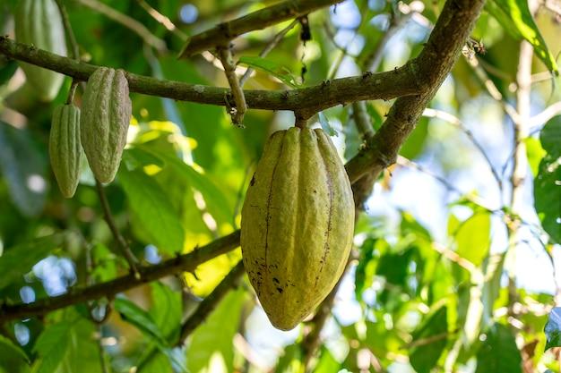 Fava di cacao gialla sull'albero nell'isola di bali, indonesia, vicino