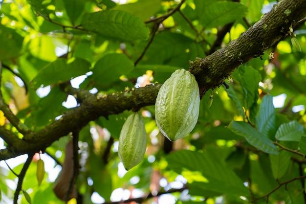 Fava di cacao gialla sull'albero nell'isola di bali, indonesia, primo piano