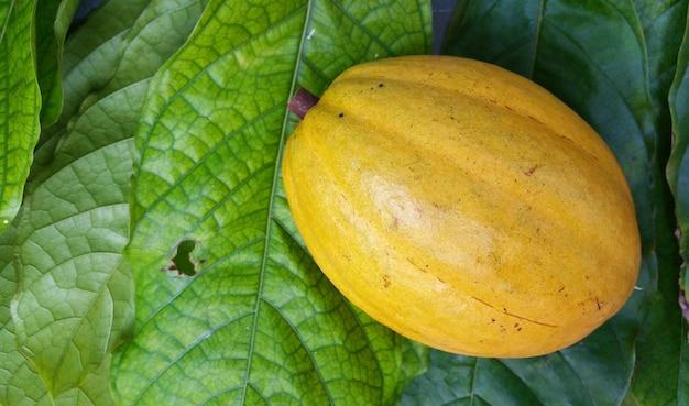Frutta gialla del cacao isolata sulla foglia verde.