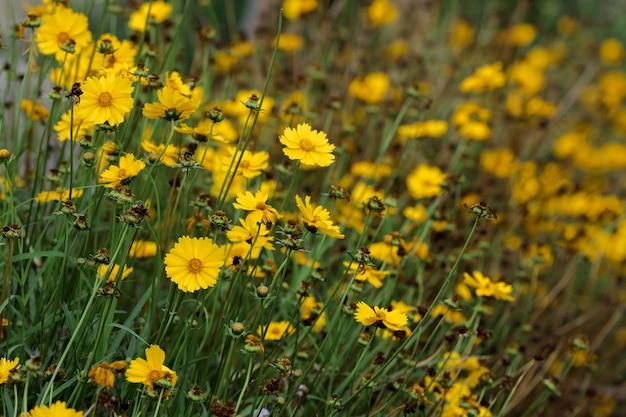 Il fiore di colore giallo sboccia come la camomilla che cresce in giardino