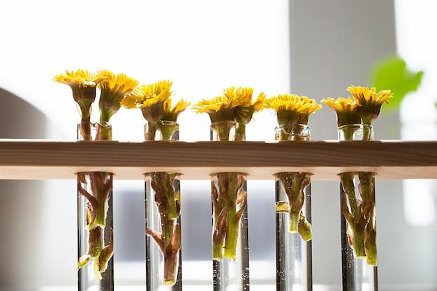 Il fiore giallo della farfara o tussilago farfara fiorisce i primi fiori di primavera in sottili fiasche trasparenti vasi sul tavolo