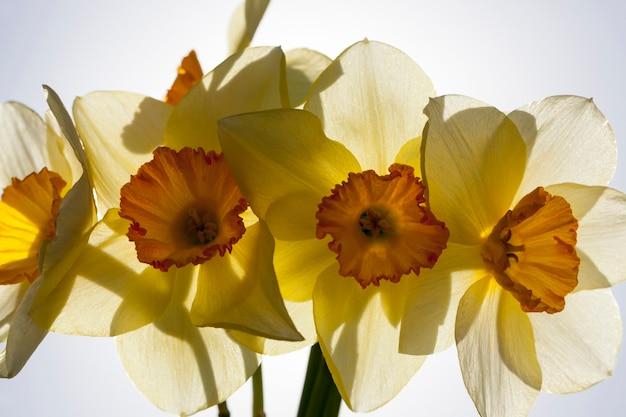 Narciso giallo nella stagione primaverile