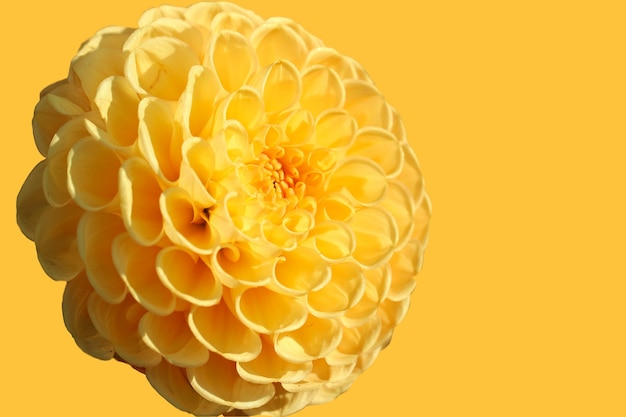 Fiore giallo dalia isolato su uno sfondo giallo