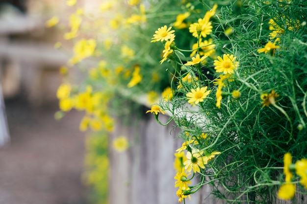 La margherita gialla fiorisce la priorità bassa con effetto di tono dell'annata.