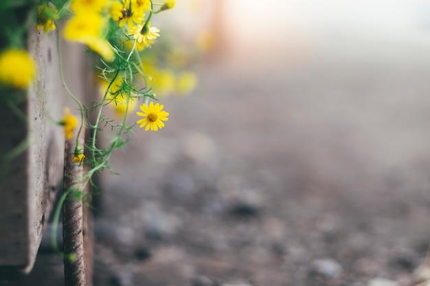 La margherita gialla fiorisce la priorità bassa.