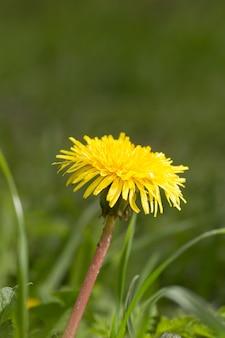 Dente di leone giallo su uno sfondo di erba verde