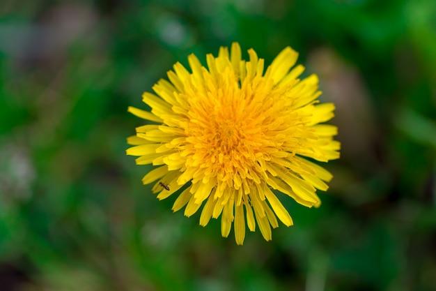 Primo piano giallo del fiore del dente di leone, macro, fondo della molla.