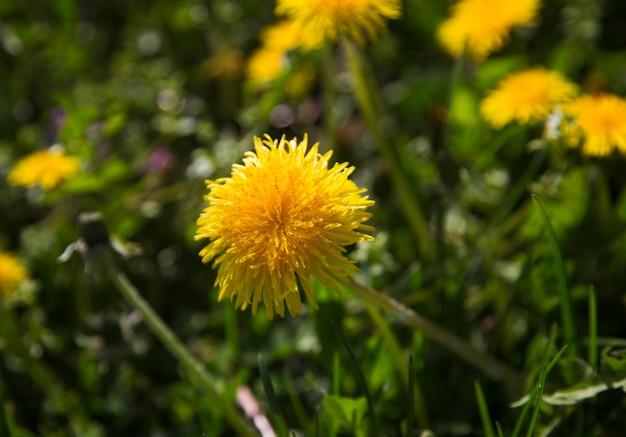 Il dente di leone giallo fiorisce il primo piano