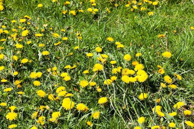 Dente di leone giallo che cresce sull'erba verde in un prato in primavera.