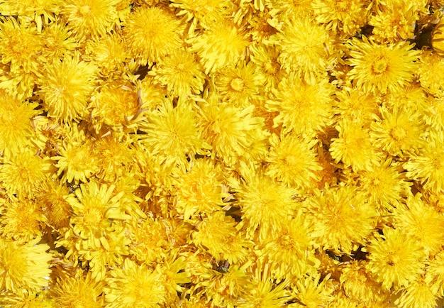 Modello primavera sfondo giallo denti di leone