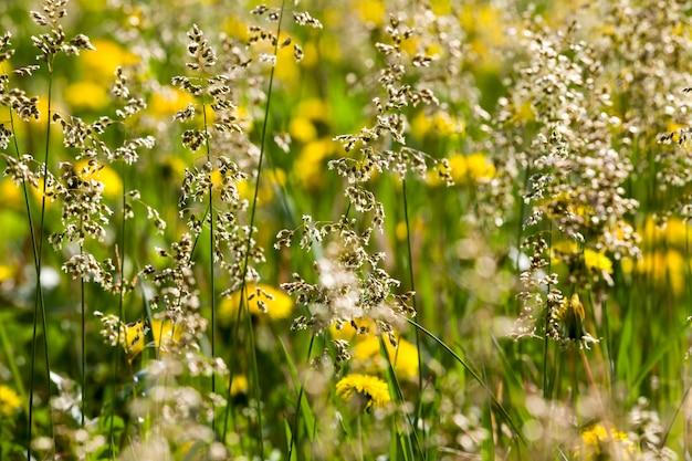 Denti di leone gialli in fiore