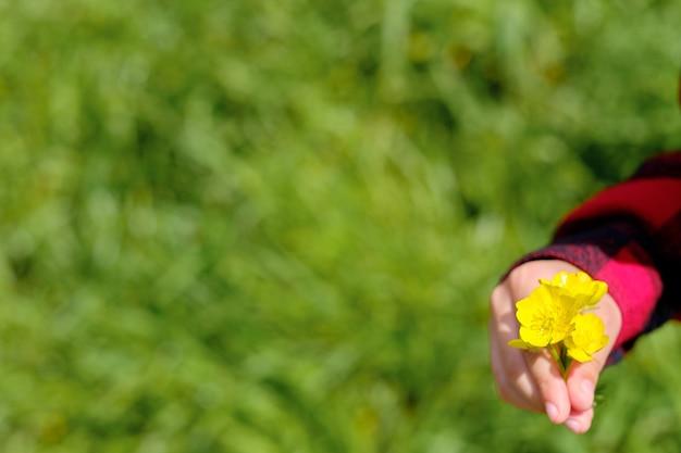 Denti di leone gialli nelle mani di un bambino, su uno sfondo di erba verde. cornice orizzontale, copia spazio