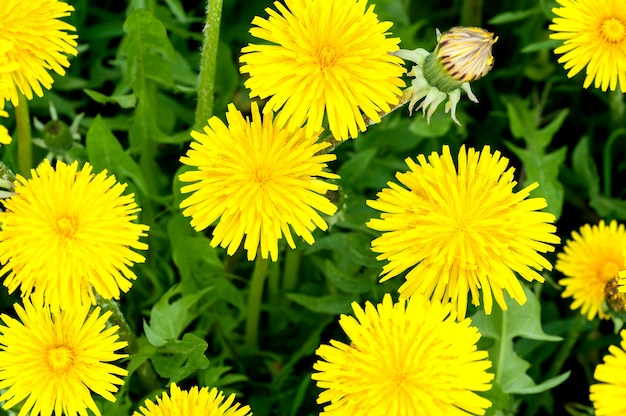 Denti di leone gialli sull'erba rigogliosa la luce del sole