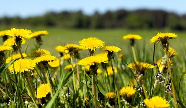 Denti di leone gialli nel prato sotto il cielo blu e il cielo soleggiato
