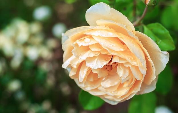 Rosa gialla delicata con gocce di pioggia