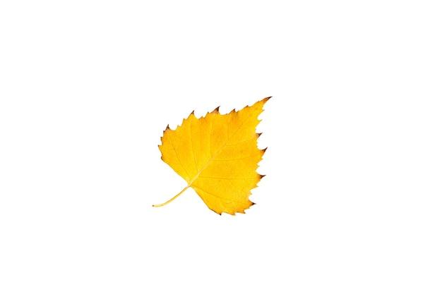 La foglia autunnale caduta secca gialla dell'albero di betulla su uno sfondo bianco è isolata