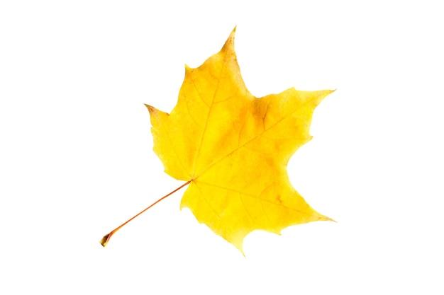 La foglia autunnale caduta secca gialla dell'acero su uno sfondo bianco è un isolato