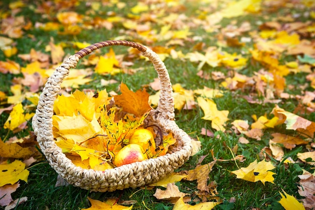 Foglie di acero cadute secche gialle in un cesto di vimini e sull'erba, mele mature - un umore autunnale. festa del raccolto. copia spazio. tappeto fatto di caduta delle foglie.