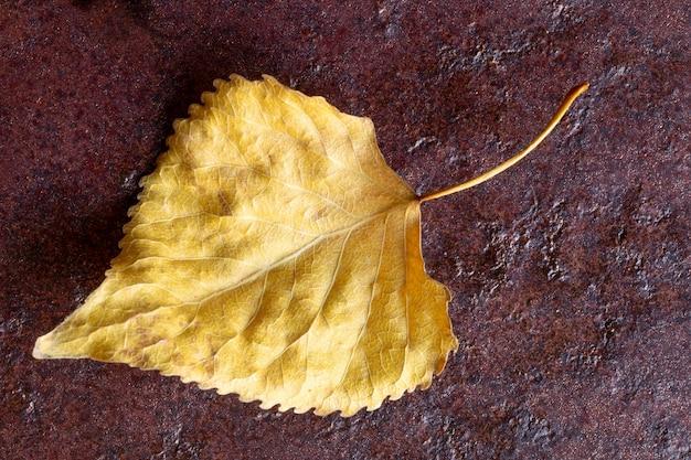 Foglia di pioppo secco giallo su sfondo rosso scuro. concetto di autunno. avvicinamento