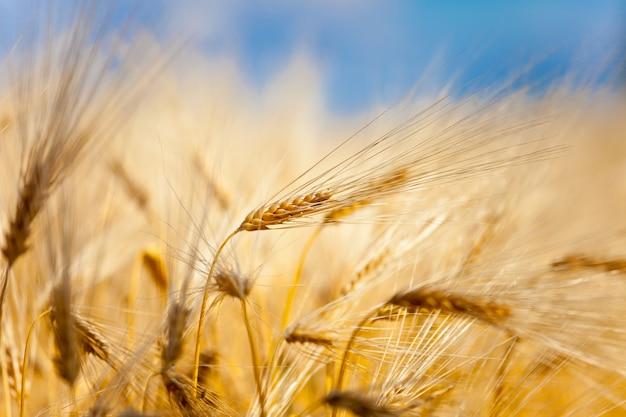 Spiga di grano gialla
