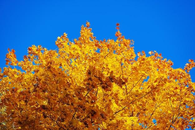 Fogliame giallo dell'acero di caduta contro il chiaro cielo blu. ramo dell'albero di acero con foglie gialle. autunno dorato e bello. stagione autunnale.