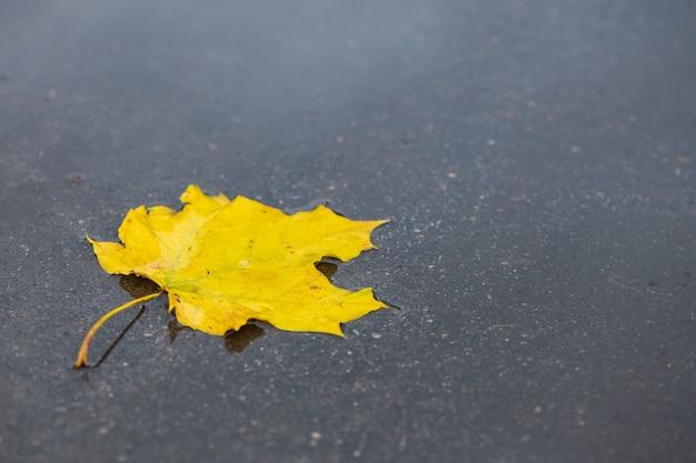 Foglia di acero gialla caduta nella pozzanghera sulla strada asfaltata. primo piano nuovo.
