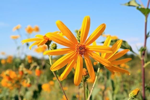Fiore di campo giallo