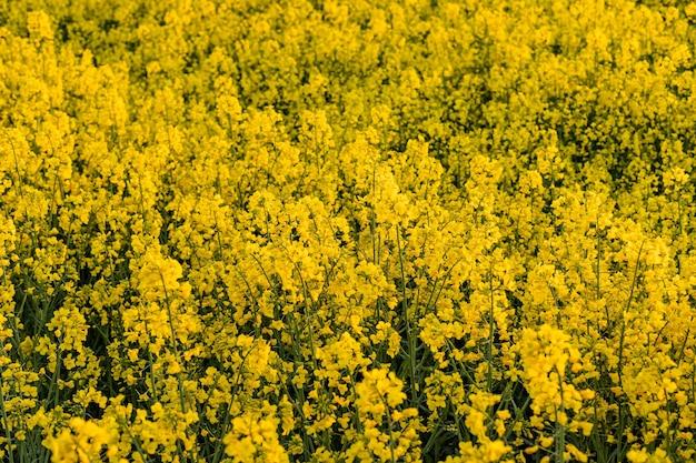 Campo giallo di colza nella luce del tramonto