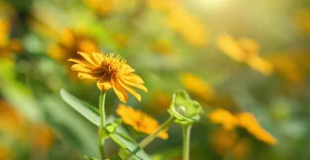 Fiore giallo che sboccia con il sole