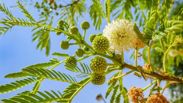 Fiore giallo della fioritura dell'albero di mimosa (acacia pycnantha, bargiglio dorato) vicino, israele.