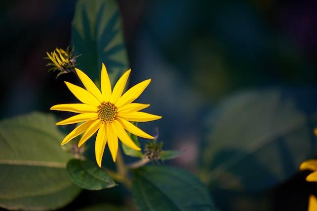 Fiore giallo su uno spazio verde scuro con spazio di copia.
