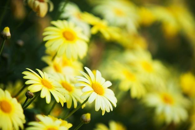 Il fiore giallo nel giardino brillava al sole