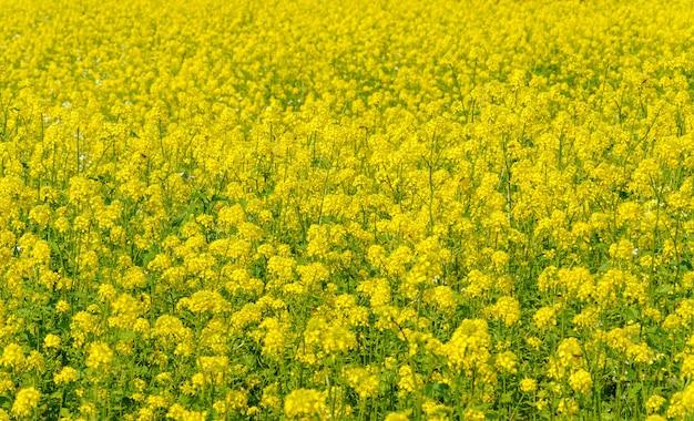Campo di fioritura giallo di colza (brassica napus) come sfondo. messa a fuoco selettiva di fiori di colza gialli.