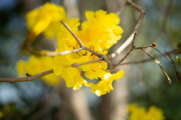 I fiori gialli stanno crescendo sul ramo. ci sono formiche e api in grani di polline.