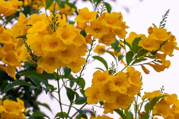 I fiori gialli sbocciano in primavera, fiori che sbocciano sulle foglie verdi e sui rami degli alberi sullo sfondo del cielo