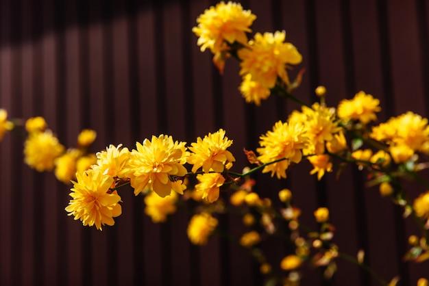 Fiore giallo dei fiori nel tempo di primavera.
