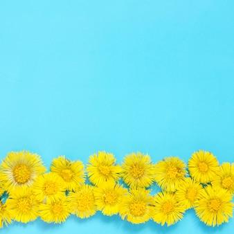 Fiori gialli di farfara su fondo blu Foto Premium