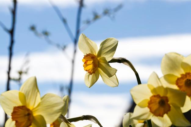 Fiori gialli di narcisi durante la fioritura