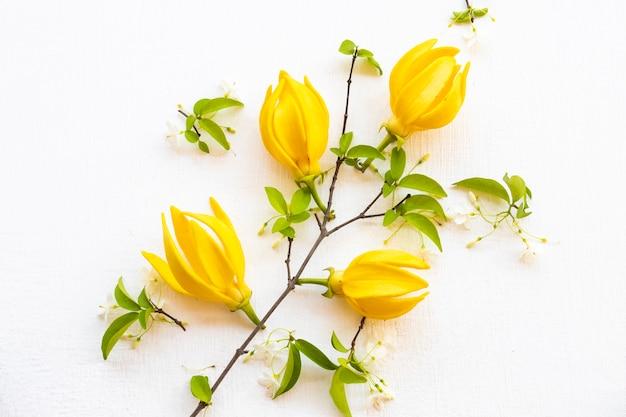 Fiori gialli ylang ylang disposizione piatta stile cartolina distesi