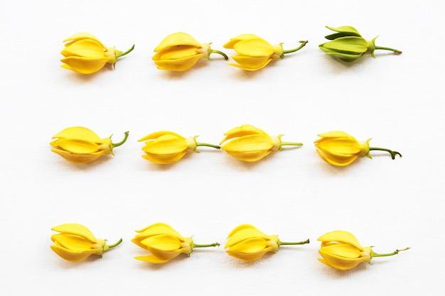 Fiori gialli ylang ylang disposizione piatta stile laico