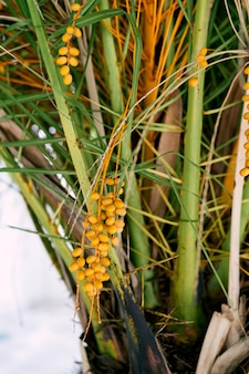 Frutti gialli del primo piano della palma da datteri