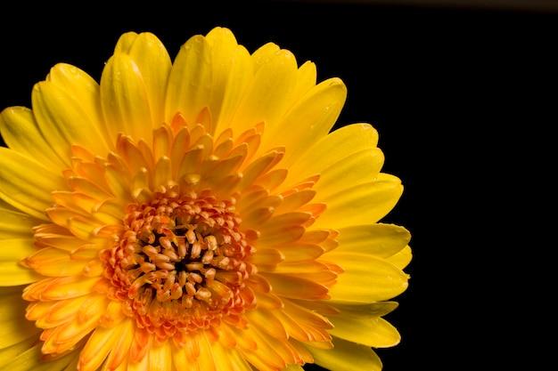 Gerbera gialla daisy isolata sul nero