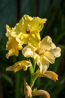 Gladiolo giallo