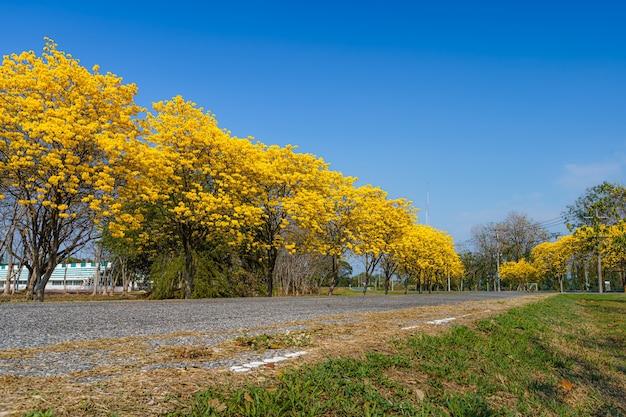 Giallo dorato tabebuia chrysotricha tree strada con parco in pibulsongkram rajabhat university paesaggio a sfondo blu cielo. luogo pubblico a phitsanulok, thailandia.