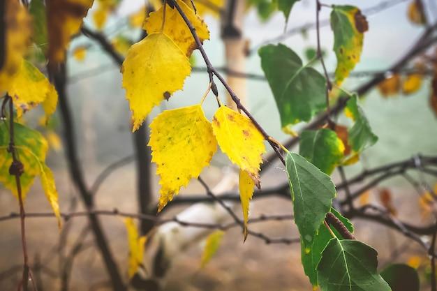 Foglie gialle e verdi sul ramo di betulla all'inizio dell'autunno