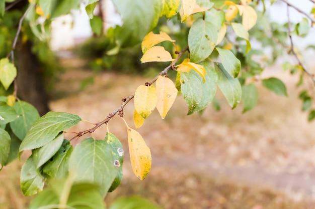 Foglie gialle e verdi su un ramo di prugna a t.