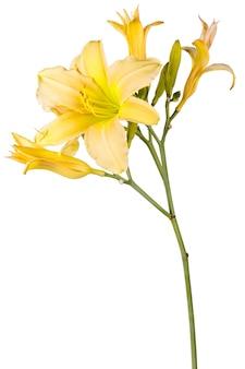 Hemerocallis giallo, fiore del giardino, isolato su priorità bassa bianca