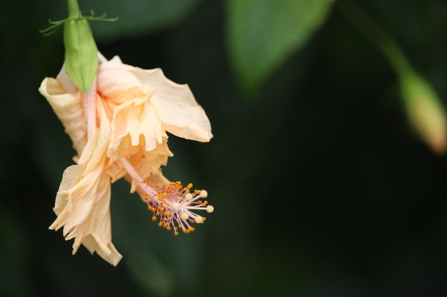 Fiore di ibisco giallo
