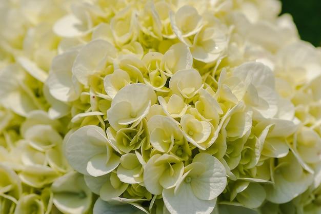 Ortensia gialla che fiorisce in natura.