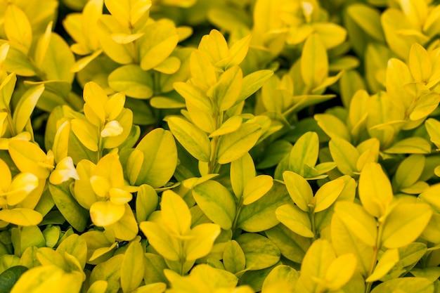 Foglie gialle succose come un'estate
